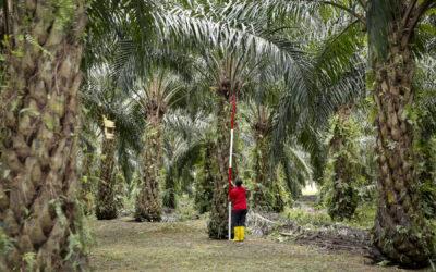Jak powstaje olej palmowy?